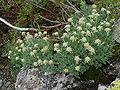 Artemisia glomerata 01.jpg