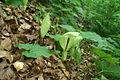 Arum maculatum - Čolnišče.jpg