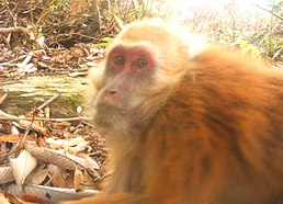 Arunachal macaque from Bugun and Shertukpen forests around Eaglenest WLS.JPG