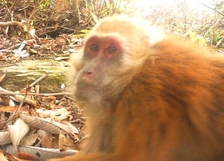 Arunachal macaque species of mammal