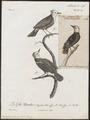 Arundinicola leucocephala - 1796-1808 - Print - Iconographia Zoologica - Special Collections University of Amsterdam - UBA01 IZ16500227.tif