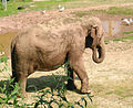 Asian.elephant.paignton.zoo.arp.jpg