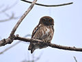 Asian Barred Owlet.jpg