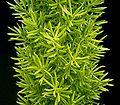 Asparagus densiflorus 07.jpg