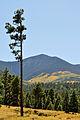 Aspen on Peaks (3972206392).jpg
