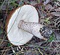 Aspen scaber-stalk Leccinum insigne - Flickr - gailhampshire (1).jpg