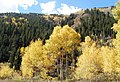 Aspens in fall on shultz pass road near.jpg
