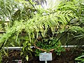 Asplenium bulbiferum - Copenhagen Botanical Garden - DSC07997.JPG