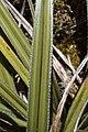 Astelia nivicola in Lewis Pass Scenic Reserve 06.jpg