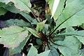 Aster divaricatus 5zz.jpg