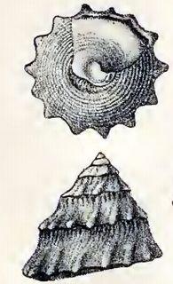 <i>Astralium semicostatum</i> species of mollusc
