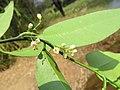 Atalantia racemosa 13.jpg