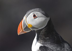 Atlantic Puffin Fratercula arctica.jpg
