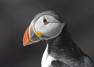 Atlantic puffin - Adult puffins have boldly coloured beaks in the breeding season.