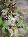 Atropa belladonna Pokrzyk wilcza-jagoda 2014-10-12 01.jpg
