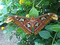 Attacus atlas - NHM 3.jpg