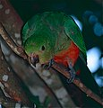 Australian King Parrot (Alisterus scapularis) female (10019336334).jpg