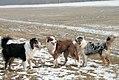 Australian Shepherd Black Tri, Red Tri, Blue Merle.jpg