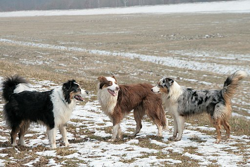Australian Shepherd Black Tri, Red Tri, Blue Merle