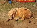 Australian sheep-5-praba pet-salem-India.jpg