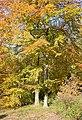 Autumn Beech trees in Hen Wood - geograph.org.uk - 604401.jpg