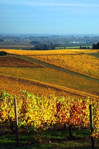 Willamette Valley - Fall grape vines in a Willamette Valley vineyard