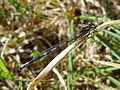 Azure Bluet. Coenagrion puella. Immature male. - Flickr - gailhampshire.jpg