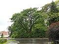 Bäume im Park der Johannes Kepler Universität (Naturdenkmal) a.JPG