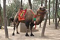 Bactrian Camel at Qianling Mausoleum (9906466646).jpg
