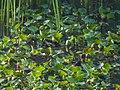 Baillon's Crake (20027595631).jpg