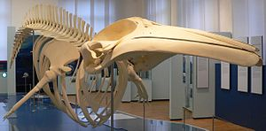 Common minke whale - Skeleton of the Common minke whale