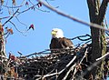 Bald Eagle Nest (25808065513).jpg
