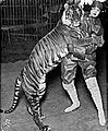 Bali Tiger Ringling Bros 1914.jpg