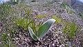 Balsamorhiza sagittata 13.jpg