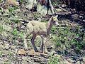 Banff Goat (17082896375).jpg