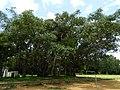 Banyan Mysore 01.jpg