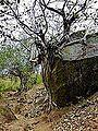 Barabar Caves - Tree growing over Rock (9227576134).jpg
