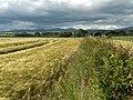Barley, Forth valley - geograph.org.uk - 191768.jpg