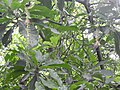 Barringtonia acutiangula-2-AJCBIBG-howra-India.jpg