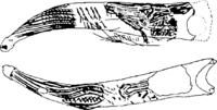 Baston cueva del Valle (Obermaier 1925).png
