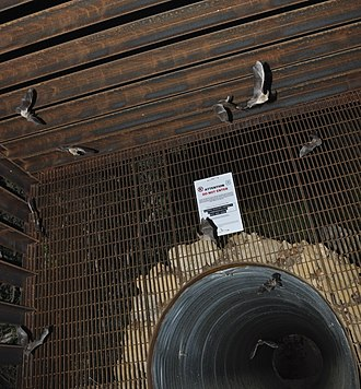 Maternity colony (bats) - Townsend's big-eared bats exiting a maternity colony in a mine