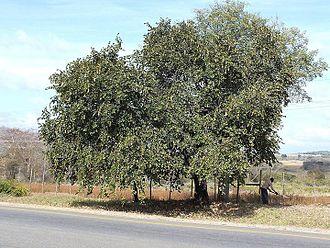 Bauhinia - Bauhinia thonningii in South Africa