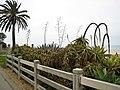 Beach Flora, Santa Monica.jpg