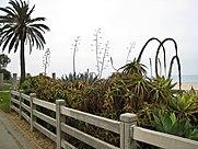 Beach_Flora,_Santa_Monica.jpg
