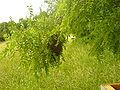 Bee swarm 2.JPG