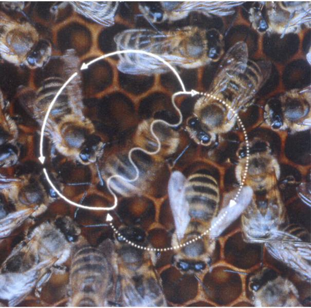 File:Bee waggle dance.png