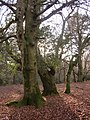 Beeches and holly in Mark Ash Wood, New Forest - geograph.org.uk - 94195.jpg