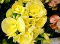Begonia-6.jpg