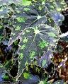 Begonia boweri 2.jpg
