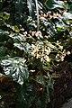 Begonia brachypoda IMG 1341.jpg